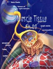 009 muscle tissue.ppt