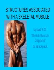 8_02 Structures of a skeletal muscle notes