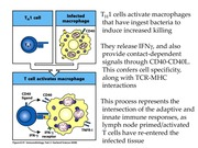 Lecture 8- T cell responses II