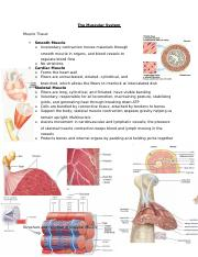 The Muscular System.docx