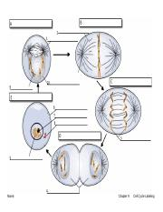 what moves the chromatids during mitosis
