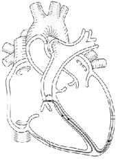 heart-diagram-unlabeled-i5 | Course Hero