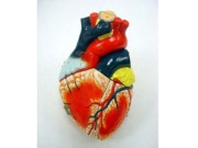 Heart Models - labeled and unlabeled