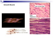 Lecture 19 - Smooth Muscle Contraction Bio416K Spring 2010