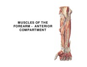 w7 l2 ANTERIOR FOREARM MUSCLES  07