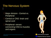 the nervous system powerpoint (chapter 8)
