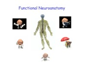 Functional Neuroanatomy Structure of the Nervous System