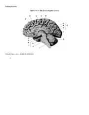 Human Brain Drawing Labeling Exercise