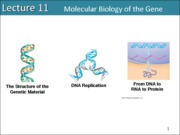 Lecture 11 Molecular Biology of the gene