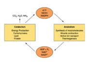 Lecture 10-7 to 10-14 Energy metabolism