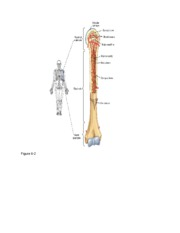 Parts of Long Bone Labeled  Figure 6-2
