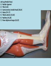Lower limb with labels (1).pptx