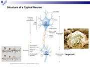 Lecture 10 - Electrical Signals in Neurons Bio416K Spring 2010