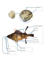 fish dissection pdf