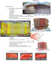 Muscle tissue lab condensed handout.doc