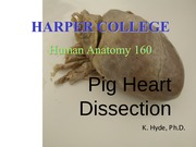 Anatomy Dissection 1 The Heart
