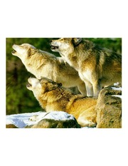GrayWolf_Y-3Adults_Howling_OnSnow