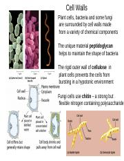 cell walls .ppt