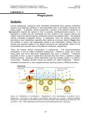 Lab 4 Phagocytosis W2017  20161216.docx