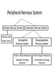 Peripheral Nervous System notes