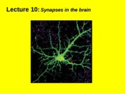 (10) Synapses in the brain.ppt