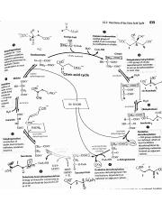 Citric Acid Cycle.pdf