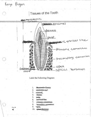 TISSUES OF THE TOOTH WORKSHEET