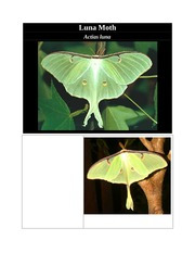 Luna Moth Notes