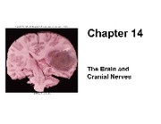 Chapter_14_Brain_Cranial_nerves_student_online