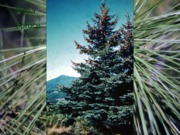 24-Coniferophyta(Part1)ForStudents