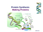 protein synthesis sonja 2011