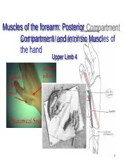 Lecture 4 - Muscles of the Forearm-2