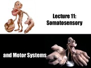 2_8W Lecture 11_Somatosensory_and_Motor_Systems