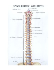 The Vertebral Column and the Rib Cage