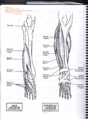 Lower Leg (anterior and posterior)