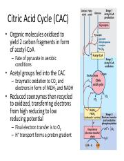 Lecture 12 - Citric Acid Cycle