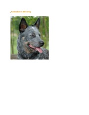 Australian_Cattle_Dog