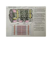 Sarcomere_Coloring_Worksheet_(completed).pdf