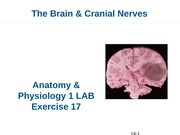 A&P I Lab 11 Brain Exercise 17