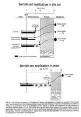 Sertoli_Cell_Replication
