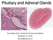 Lecture 23 Pituitary and Adrenal. Nov 3rd 2014