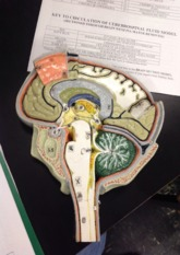 Key to Brain Section Model