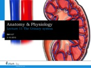 A&P Lecture 11 - Urinary System.pdf