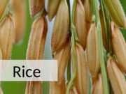 RICE_AgronomicCrops+2