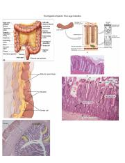 The Digestive System_The large intestine