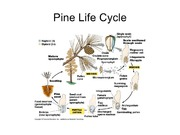 Pine Life Cycle Biology 1404 Test 2