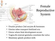 Female+Reproductive-System