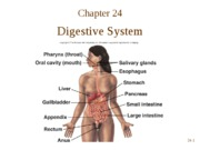 Chapter 24  Digestive