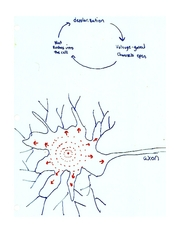 Diagram_-_how_a_neuron_becomes_activated