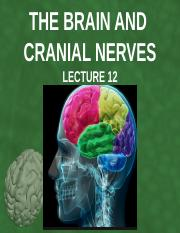Lecture 12 - The Brain and Cranial Nerves.pptx